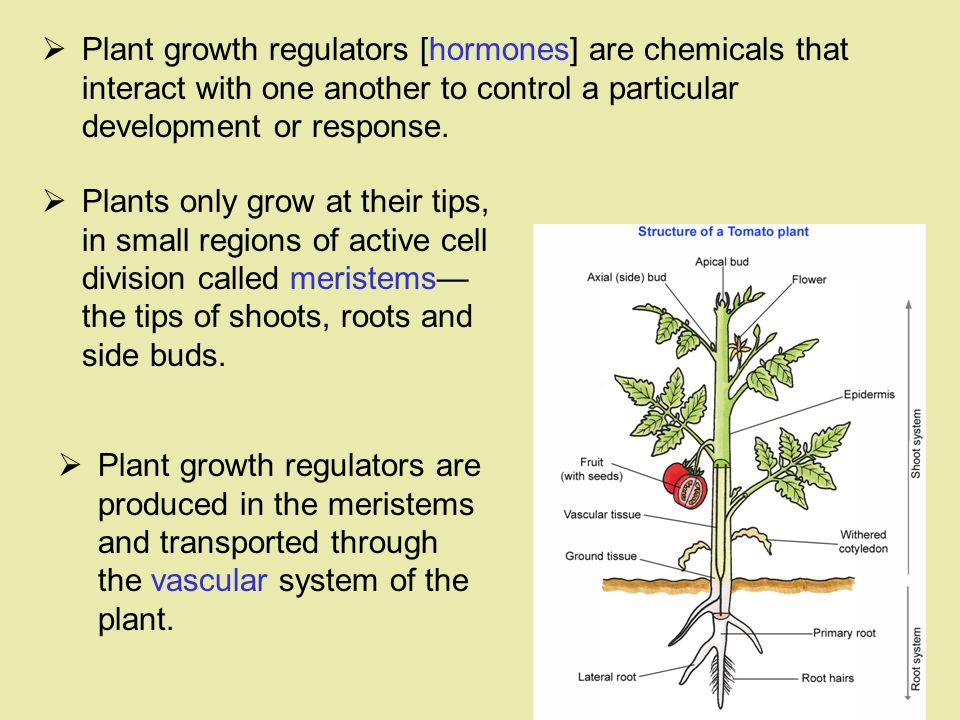Plant growth regulators [hormones] are chemicals that interact with one another to control a particular development or response.
